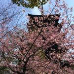 京都の一番桜、東寺の河津桜