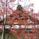 長徳寺の阿亀桜