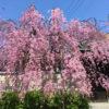 四天王寺さんの庚申堂の桜