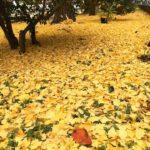 野崎公園の黄色