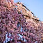 氷室神社の一番枝垂れ桜