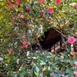 伝香寺の椿と氷室神社の枝垂れ