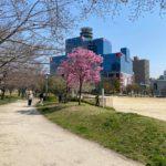 扇町公園の陽光桜