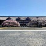 天理教団本部の枝垂れ桜