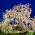 円山公園の枝垂れ