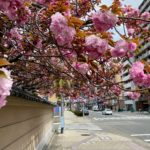 蓮興寺の桜